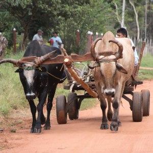 Oxen_web